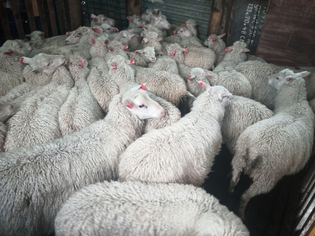 Finnsheep - Finnish Landrace Sheep